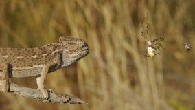 变色蜥蜴狩猎蜘蛛 影视素材