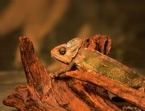 变色蜥蜴蜥蜴 图库摄影