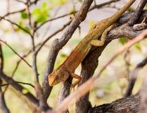变色蜥蜴蜥蜴 库存照片