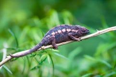 变色蜥蜴豹 免版税库存照片