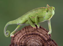 变色蜥蜴走 免版税库存照片