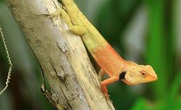 变色蜥蜴金子在庭院里 免版税库存照片