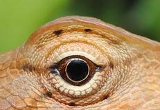 变色蜥蜴金子 免版税库存照片
