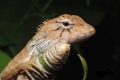 变色蜥蜴金子 免版税库存图片