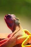 变色蜥蜴颜色 图库摄影