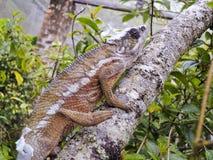 变色蜥蜴-马达加斯加地方病爬行动物 库存图片