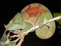 变色蜥蜴,绿色棕色颜色,夜射击了有黑暗的背景 马达加斯加 免版税库存照片
