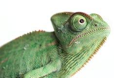 变色蜥蜴- Chamaeleo calyptratus 免版税库存照片