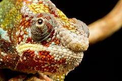 变色蜥蜴furcifer豹pardalis 图库摄影