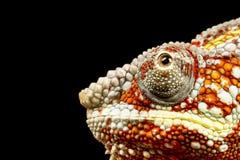 变色蜥蜴furcifer豹pardalis 免版税图库摄影