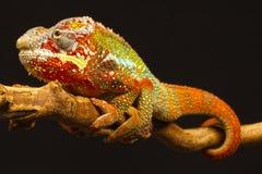 变色蜥蜴furcifer豹pardalis 免版税库存图片