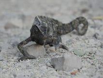 变色蜥蜴staight 免版税库存照片