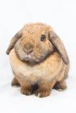 变褐兔子 库存照片