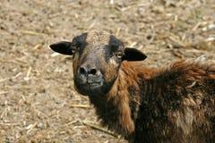 变褐德国绵羊 图库摄影