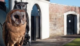 变褐猫头鹰照片 免版税库存照片