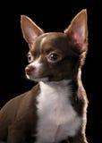 变褐胸口奇瓦瓦狗白色的关闭纵向 免版税库存图片