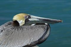 变褐occidentalis pelecanus鹈鹕 免版税图库摄影