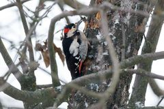 叙利亚啄木鸟Dendrocopos syriacus 图库摄影