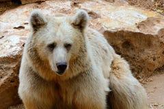 叙利亚棕熊 免版税库存照片