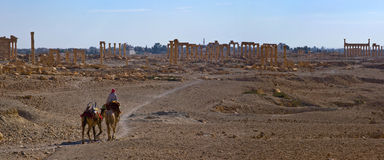 叙利亚 扇叶树头榈 免版税图库摄影