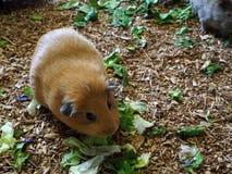 叙利亚仓鼠在很逗人喜爱的庭院里 图库摄影