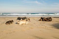 口岸在海滩的圣约翰斯母牛 狂放的海岸,东开普省,南非 图库摄影