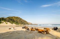 口岸在海滩的圣约翰斯母牛 狂放的海岸,东开普省,南非 库存照片