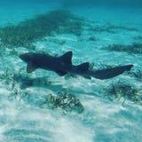 绞口鲨科在伯利兹 免版税库存图片