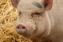口鼻部的特写镜头从猪的 免版税库存图片