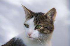 古典猫画象 免版税库存图片