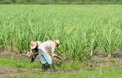 古巴农夫和收割机在藤茎调遣在收获期间- Serie古巴报告文学 库存图片