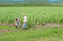古巴农夫和收割机在藤茎调遣在收获期间- Serie古巴报告文学 库存照片