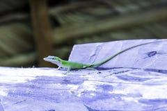 古巴女性蜥蜴阿莉森` s Anole - Anolis allisoni,亦称青带头的anole -巴拉德罗角,古巴 免版税库存照片