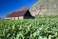 古巴干燥房子烟草vinales 库存照片