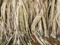 古巴月桂树树干 库存图片