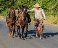 古巴牛仔骑自行车,当引导三匹马时 库存图片