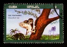 古巴矮小猫头鹰Glaucidium siju,大约1976年 免版税库存图片