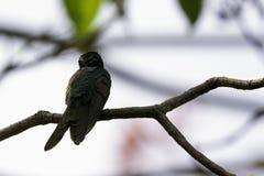 古巴绿宝石是蜂鸟-男性, Peninsula de Zapata国家公园,古巴的种类 免版税图库摄影