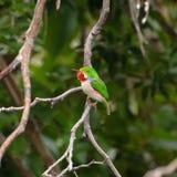 古巴翡翠科鸟 库存照片
