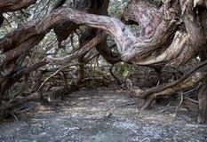 古巴老结构树 库存照片