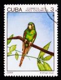 古巴长尾小鹦鹉Aratinga euops,土产鸟serie,大约1975年 免版税库存图片