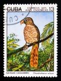 古巴风筝Chondrohierax wilsonii,土产鸟serie,大约1975年 免版税库存图片