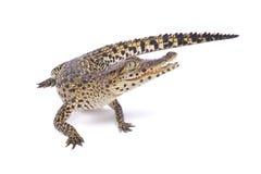 古巴鳄鱼,湾鳄rhombifer 免版税库存图片