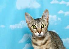 古怪地看观察者的愚钝的平纹小猫 免版税库存图片