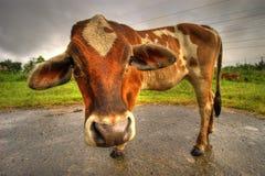 古怪母牛的hdr 库存照片