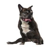 古法语牛头犬(7岁) 免版税库存图片