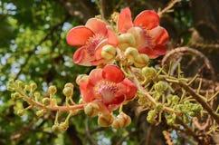 古炮炮弹树美丽的花  免版税库存图片