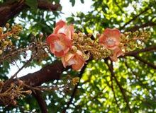 古炮炮弹树,婆罗双树树美丽的圆的白色洋红色颜色花  库存图片
