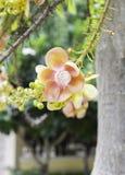 古炮炮弹树,婆罗双树树,印度, Co的婆罗双树美丽的花  图库摄影
