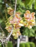 古炮炮弹树,婆罗双树树,印度, Co的婆罗双树美丽的花  免版税库存照片